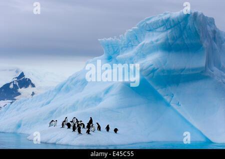 Gentoo penguins (Pygoscelis Papua) on an iceberg off the western Antarctic Peninsula, Southern Ocean - Stock Photo