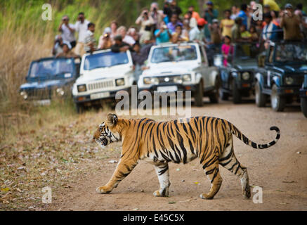 Bengal tiger [Panthera tigris tigris] crossing road in front of watching tourists, Bandhavgarh NP, Madhya Pradesh, - Stock Photo