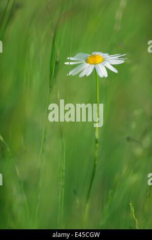 Marguerite / Oxeye daisy (Leucanthemum vulgare) in flower, Roudenhaff, Mullerthal, Luxembourg - Stock Photo