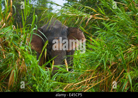 Bornean pygmy forest elephant (Elephas maximus borneensis) in lowland rainforest, Rio Sungai Kinabatangan, Sabah, - Stock Photo