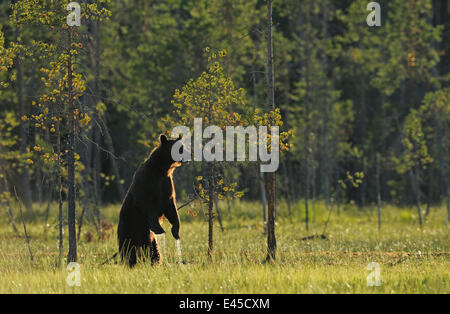 Eurasian brown bear (Ursus arctos) standing with water dripping from its paws, Kuhmo, Finland, July 2008 - Stock Photo