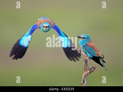 European Roller (Coracias garrulus) pair, one in flight, Pusztaszer, Hungary, May 2008 - Stock Photo