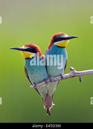 European Bee-eater (Merops apiaster) pair perched, Pusztaszer, Hungary, May 2008 - Stock Photo