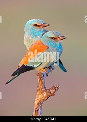 European Roller (Coracias garrulus) pair perched on branch, Pusztaszer, Hungary, May 2008 - Stock Photo