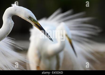 Great Egret (Casmerodius albus / Egretta alba) Pusztaszer, Hungary, May 2008 - Stock Photo