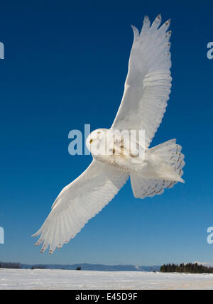 Snowy owl (Bubo scandiaca) flying over snowy landscape, Canada - Stock Photo