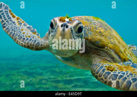 Galapagos green turtle (Chelonia mydas agassisi) underwater portrait, being inquisitive, note algae growing on head - Stock Photo