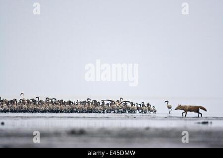 Golden jackal {Canis aureus} predating flock of juvenile Lesser flamingo {Phoeniconaias minor} Lake Nakuru NP, Kenya - Stock Photo