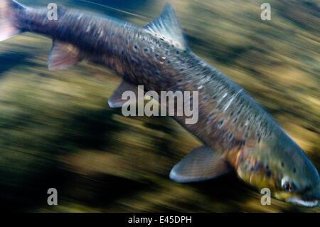 Atlantic salmon (Salmo salar) River Orkla, Norway, September 2008 - Stock Photo