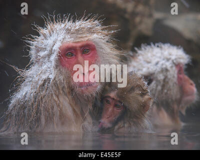 Japanese macaque (Macaca fuscata) holding young while bathing in hot spring to keep warm, only females and young - Stock Photo