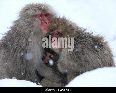 Japanese macaque (Macaca fuscata) family huddled together for warmth on a cold day, Jigokudani, Joshinetsu Kogen - Stock Photo