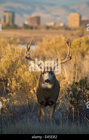 Mule deer (Odocoileus hemionus) buck, Cherry Creek State Park, Denver, Colorado, USA - Stock Photo