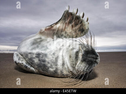 Juvenile Grey Seal {Halichoerus grypus} rolling on sand, waving flipper, Donna Nook, Lincolnshire, England, January - Stock Photo