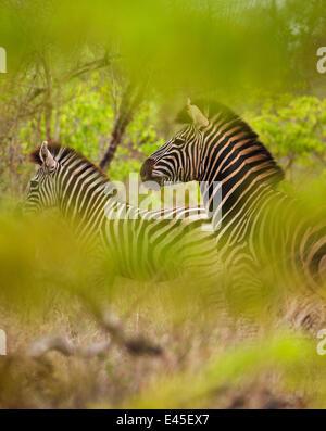 Common zebra (Equus burchelli) in the bush, Kruger National Park, South Africa - Stock Photo