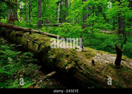 Fallen Nordmann fir (Abies nordmanniana) tree, old-growth forest, Arkhyz valley, western part of the Teberdinsky - Stock Photo