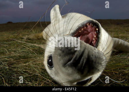 Grey seal (Halichoerus grypus) pup lying on its back with its mouth open, Donna Nook, Lincolnshire, UK, November - Stock Photo