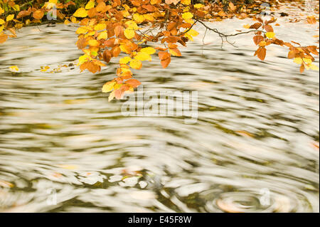 Foam and dead leaves in motion on the water surface of a pool with Beech (Fagus sp) leaves hanging down from above, - Stock Photo