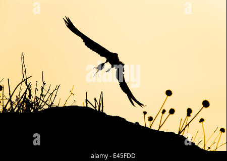 Eleonora's falcon (Falco eleonorae) flying carrying prey, dawn, Andros, Greece, September 2008 - Stock Photo
