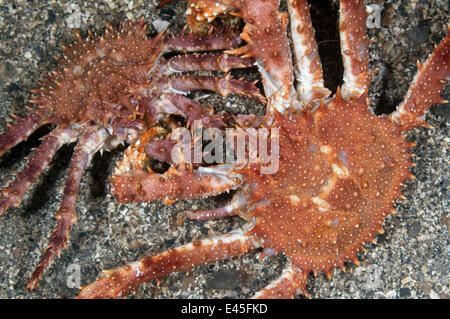 Northern stone crab (Lithodes maja) pair, Trondheimsfjorden, Norway, February 2009 - Stock Photo