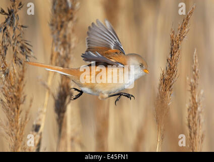 Female Bearded reedling (Panurus biarmicus) flying between reeds, Espoo, Finland. February. - Stock Photo