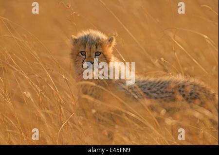 Cheetah (Acinonyx jubatus) cub in grass, Masai Mara, Kenya - Stock Photo