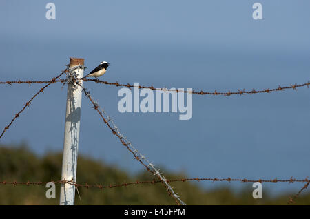 Cyprus pied wheatear (Oenanthe cypriaca) perched on barbed wire singing, Northern Cyprus, April 2009 - Stock Photo