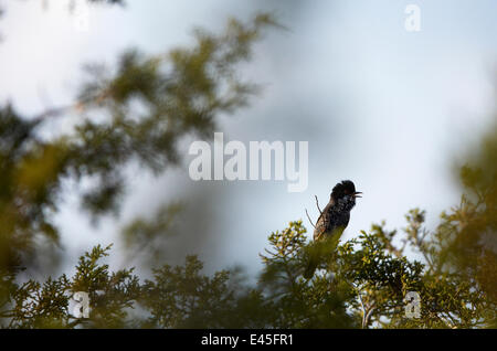 Cyprus warbler (Sylvia melanothorax) perched singing, Limassol, Northern Cyprus, April 2009 - Stock Photo