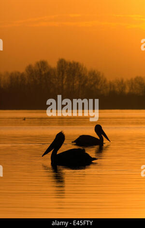 Two Dalmatian pelicans (Pelecanus crispus) on Lake Kerkini at sunrise, Macedonia, Greece, February 2009 - Stock Photo