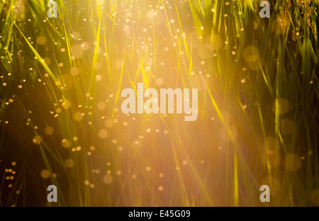 Midges flying in the tall grass in the sun - Stock Photo