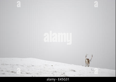 Rear view of Reindeer (Rangifer tarandus) in snow, Forollhogna National Park, Norway, September 2008 - Stock Photo