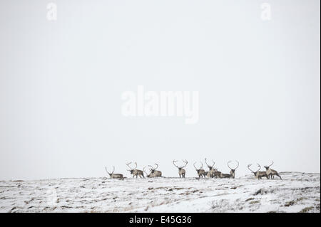 Reindeer (Rangifer tarandus) herd in distance in snow, Forollhogna National Park, Norway, September 2008 - Stock Photo