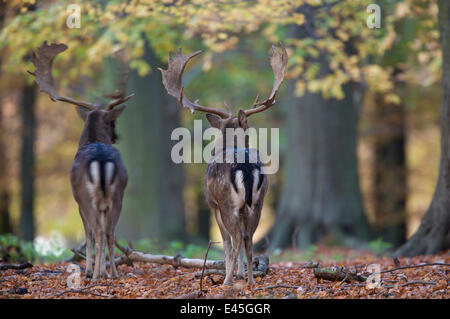 Rear view of two Fallow deer (Dama dama) bucks, Klampenborg Dyrehaven, Denmark, October 2008 - Stock Photo