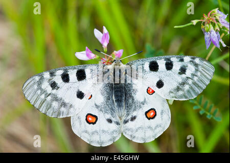Apollo butterfly (Parnassius apollo) on flowers,  Fliess, Naturpark Kaunergrat, Tirol, Austria, July 2008 - Stock Photo