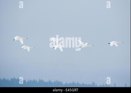 Whooper swans (Cygnus cygnus) in flight, Lake Tysslingen, Sweden, March 2009 - Stock Photo