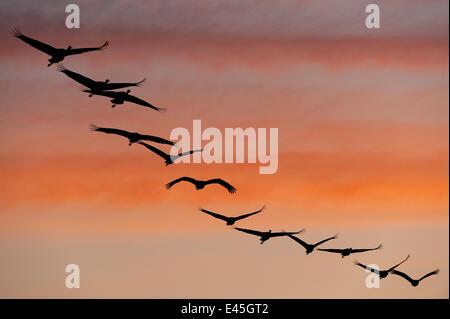 Common / Eurasian cranes (Grus grus) flying in a line, silhouetted at sunrise, Lake Hornborga, Hornborgasjön, Sweden, - Stock Photo
