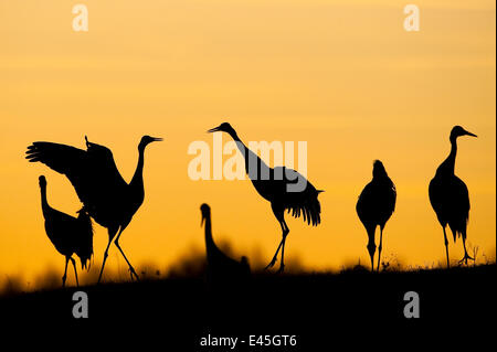 Common / Eurasian cranes (Grus grus) silhouetted at sunset, Lake Hornborga, Hornborgasjön, Sweden, April 2009 - Stock Photo