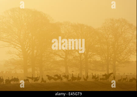 Common / Eurasian cranes (Grus grus) silhouetted on ground in front of trees at sunrise, Lake Hornborga, Hornborgasjön, - Stock Photo
