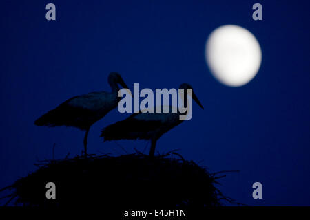 White stork (Ciconia ciconia) pair at nest, dusk, with moon, Nemunas Delta, Lithuania, June 2009 - Stock Photo