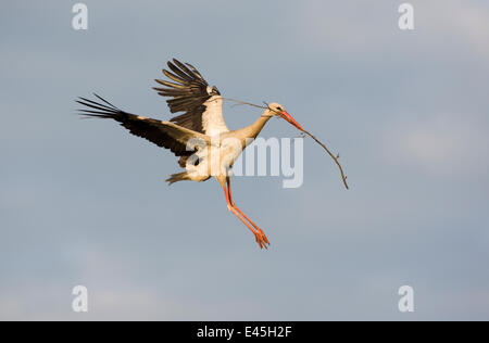 White stork (Ciconia ciconia) flying to nest with nesting material, Rusne, Nemunas Regional Park, Lithuania, June - Stock Photo
