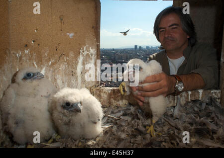 Peregrine falcon (Falco peregrinus) chicks, one being put back in nest after being ringed, Sagrada familia cathedral, - Stock Photo