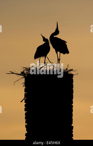 White stork (Ciconia ciconia) pair displaying, silhouetted at nest on old chimney, Rusne, Nemunas Regional Park, - Stock Photo