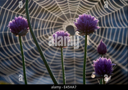 Flowering Chives (Allium schoenoprasum) in front of a spiders web, Stockholm Archipelago, Sweden, June 2009 - Stock Photo