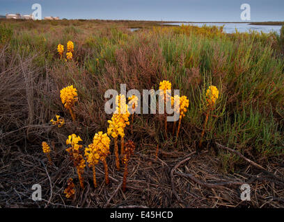 Broomrape (Cistanche phelypaea) in flower, killing its host Glasswort (Salicornia sp) Huelva, Andalucia, Spain, - Stock Photo