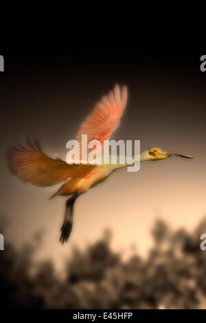 Roseate spoonbill (Ajaia ajaia) in flight, Alafia Banks Preserve, Florida, USA, March - Stock Photo