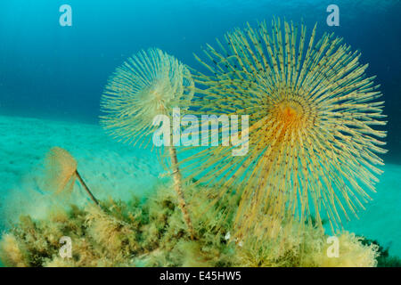 European fan worms (Sabella / Spirographis spallanzani) Malta, Mediteranean, May 2009 - Stock Photo