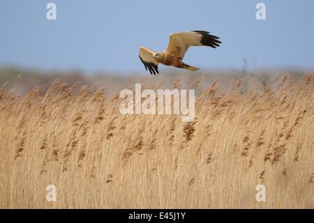 Marsh Harrier (Circus aeruginosus) male bird in flight over reed bed, Norfolk, UK, March - Stock Photo