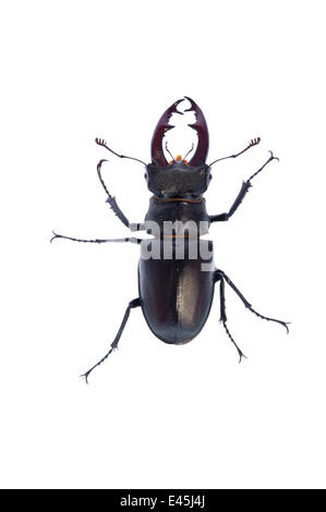 Male Stag beetle (Lucanus cervus) Suffolk, England, June 2009 - Stock Photo