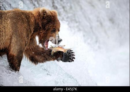 Grizzly bear (Ursus arctos horribilis) feeding on Salmon in Brooks river, Katmai National Park, Alaska, USA, July - Stock Photo