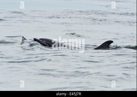 Female Bottlenosed dolphin (Tursiops truncatus) with sea trout, Moray Firth, Nr Inverness, Scotland, May 2008 - Stock Photo