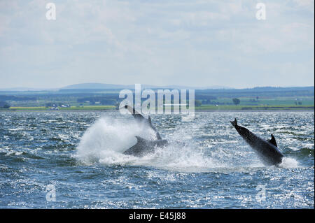 Bottlenosed dolphins (Tursiops truncatus) breaching, Moray Firth, Nr Inverness, Scotland, May 2009 - Stock Photo